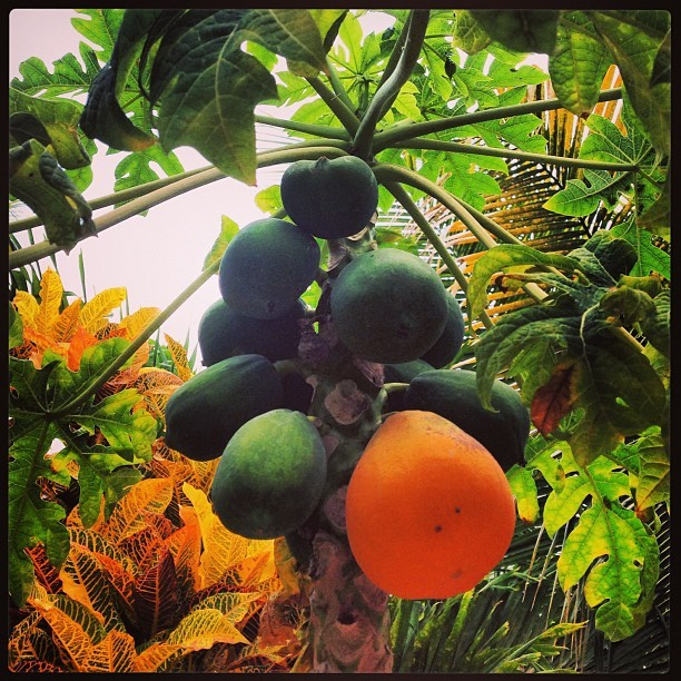 pa-pa-pa-papaya #everystring #tulum #mexico #caribbean #beachlife #tropical #garden #iphone5 #iphonography #fruit #love