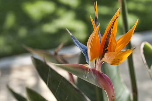 Crying Bird of paradise (Flower) Strelitzia reginae It is the official flower of City of Los Angeles (Los Angeles Magazine, April 2003, Page 62) Miracle Mile, Los Angeles