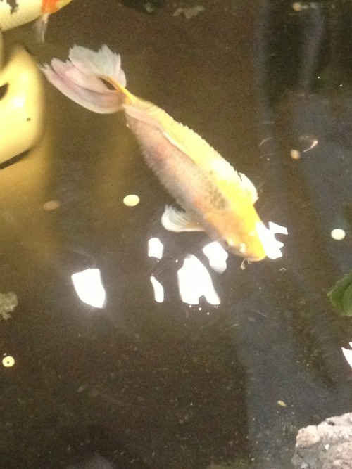 The koi and goldfish in my mall's waaaay overstocked indoor pond are dying off apparently. There are only 2 left. This one was always my favorite (reminds me of the luck dragon from Neverending Story as cheesy as that sounds) and has dropsy and septicemia. I doubt it will be there next time I visit. :(. Poor fishy.