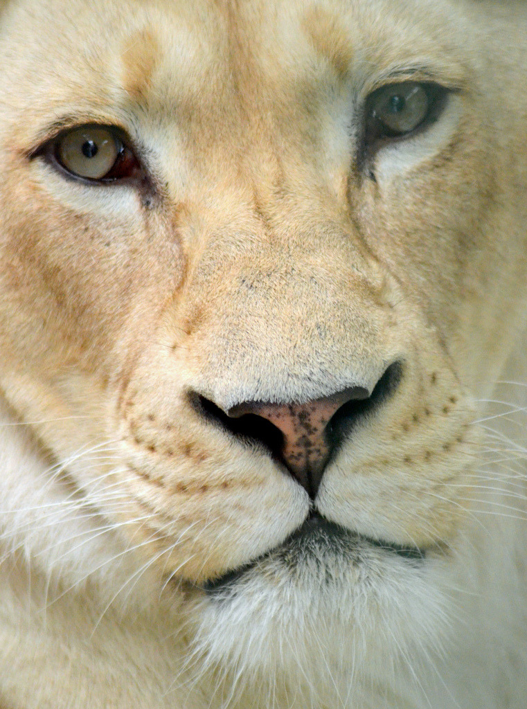 kingdom-of-the-cats:  Kya the white lioness (by Samoyeddawn)