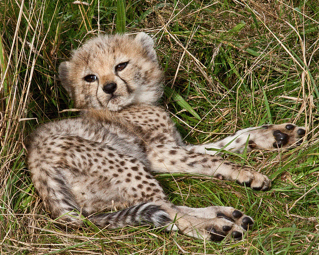 foxzd:  CHEETAH CUB by Eddie Evans on Flickr.