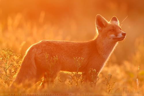 Fire Fox by *thrumyeye