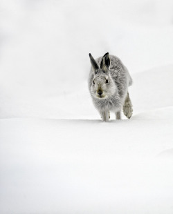 poets-notebook:  Mountain Hare Running by David C Walker 1967 on Flickr.