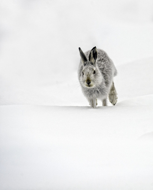 Mountain Hare Running by David C Walker 1967 on Flickr.