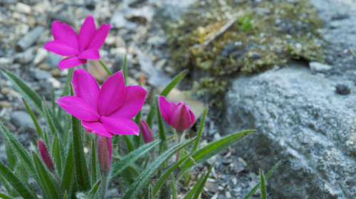 アッツザクラ (Rhodohypoxis) on Flickr.