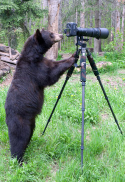 funnywildlife:  funnywildlife:  Bear Photographer!!Here's one cub reporter who could bearly contain herself as she watched a wildlife photographer at work. As Dean Swartz took pictures of a black bear family in Minnesota, America, he noticed one juvenile bear watching him very closely. After about 45 minutes the bear decided to have a go as well and ambled over to the tripod. Backing off, Dean used another camera on his shoulder to carry on taking pictures as the animal investigated his expensive equipment.Picture: Dean Swartz / National News and Pictures   Una sonrisa…!