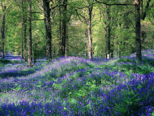 Bluebells, The Royal Forest of Dean, Gloucestershire, England on Flickr.