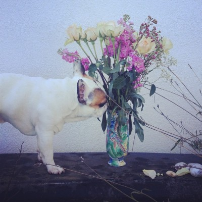 #WolfietheFrenchie enjoys my bouquet out in the garden; shout out to my favorite Sun for making happy days longer days🌞 // #bouquet #flowers #bench #garden #roses #dogstagram #frenchie #sun #vscocam