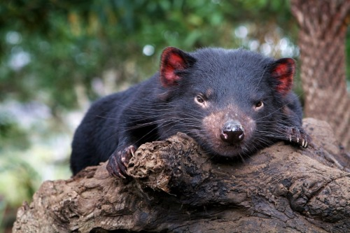 animals-animals-animals:  Tasmanian Devil (by blackpaw)