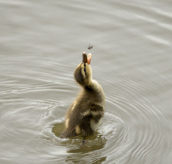 "via 500px / Photo ""You are mine!!"" by Rita Ivanauskas  Mallard Duckling catching a bite."
