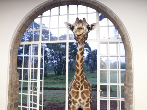 (via Giraffes join guests for breakfast and dinner at iconic Giraffe Manor)