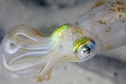 cephalopodsgonewild:  White Squid by PacificKlaus