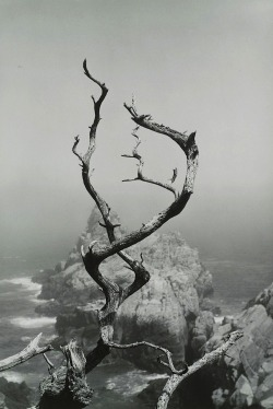 luzfosca:  Minor White  Cypress Grove Trail, Point Lobos, California, 1951