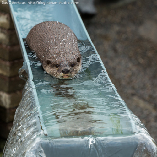 dailyotter:  Otter Slides Down a Water Slide Via Das Otterhaus