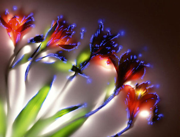 This is what it looks like to shock flowers with 80,000 volts. In this odd but old photographic technique (called Kirlian photography), the object is placed over photographic film over a metal plate. When the extreme voltages are applied, the air surrounding the flower is ionized, leaving a ghostly electric image on the film. The remainder of the colorful image is hand-painted later. Check out Robert Buelteman's gallery for more shockingly ethereal flowers. Bonus: Check out this gallery of plants imaged via electromagnetic photography at myampgoesto11. Gorgeous! (via DeMilked)