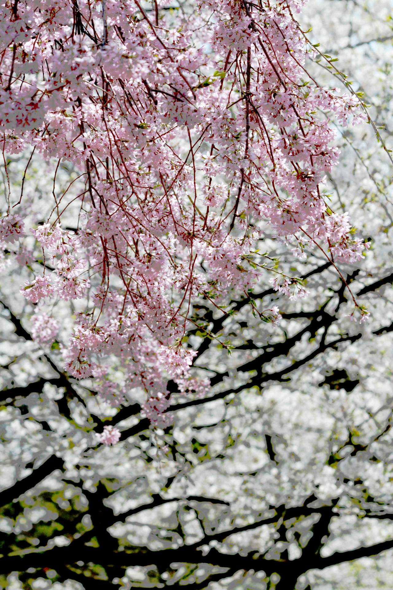 cherry blossoms in Swarthmore, taken by me