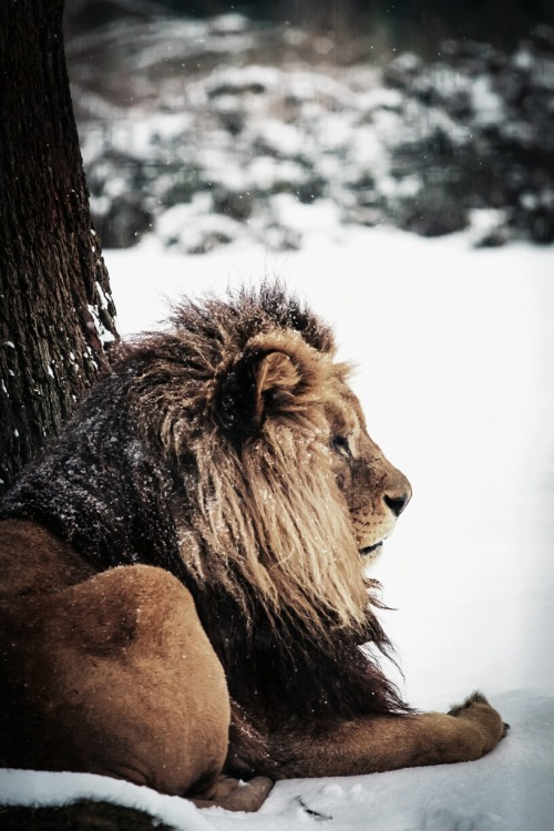 0rient-express:  Snow Lion? | by Mathieu G.