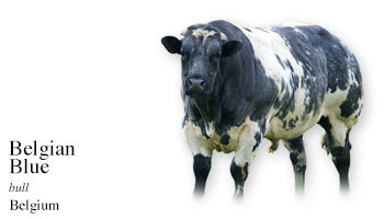 The Belgian Blue (aka Belgian White-Blue, Belgian Blue-White, Belgian Roan, Belgian White and Blue Pied, Blue, Blue Belgian, Central and Upland, Mid-Belgian, White Meuse and Schelde; Witblauw ras van België in Flemish; Blanc-bleu Belge in French; Belgisk Blåhvidt kvæg in Danish) is a locally derived breed. 'Locally derived' means that the local cattle of Belgium were improved in stages starting in the mid-1800s with imported Dutch and Durham Shorthorn bulls and then later having double-muscling added to their make-up. You can also go to:  The Cow Wall® By Country - A Cow/Cattle Breed Picture Reference and see the other breeds of Belgium. My Daily Cow® Belgium and read about other Belgian cattle breeds.