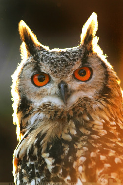 "earth-song:  Burnin' owl by *thrumyeye The call of the Eurasian Eagle Owl (bubo bubo) is a deep resonant ""ooh-hu"" with emphasis on the first syllable for the male, and a more high-pitched uh-Hu for the female (which explains why we (in the Netherlands call him ""Oehoe"")"