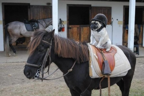 speaking of pugs… everyone thinks they've got it easy.  but look at the high price of beauty.  they put up with all kinds because of their natural companion nature. pugs, why are you so beautiful? i miss you mr. smelly.  you are still my good boy.