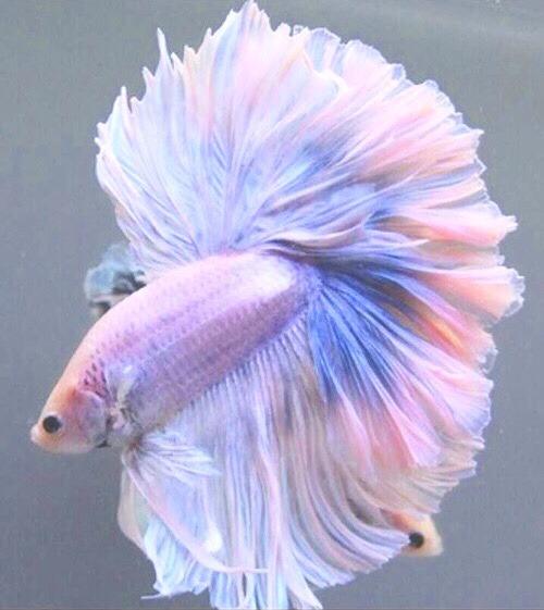 how to teach a betta fish to dance