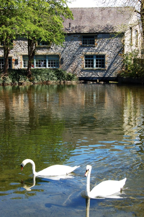 lovesickgrace:  Swans in Bakewell