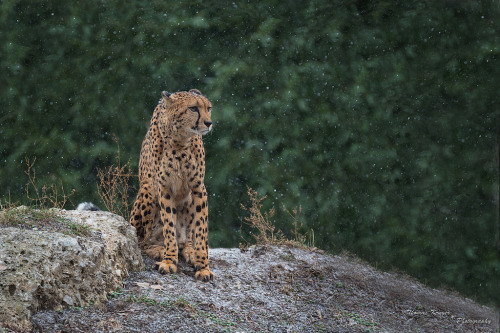 llbwwb:  Gepard (by CROW1973)