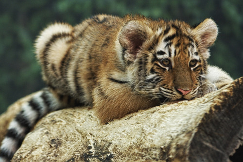 earthlynation:  Amur Tiger Cub by papatheo