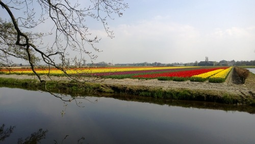 Flowers in Netherlands are beautiful