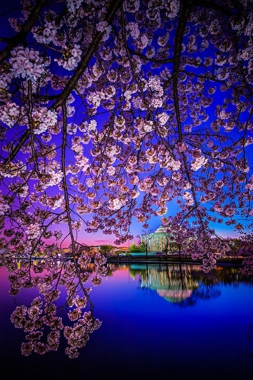 Cherry Blossom Dawn, Washington D.C. photo via robin