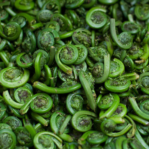 valscrapbook:  fiddleheads by smoothdude on Flickr.