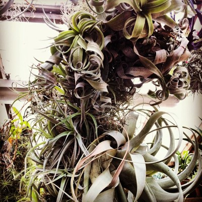 New Tillandsia sculpture
