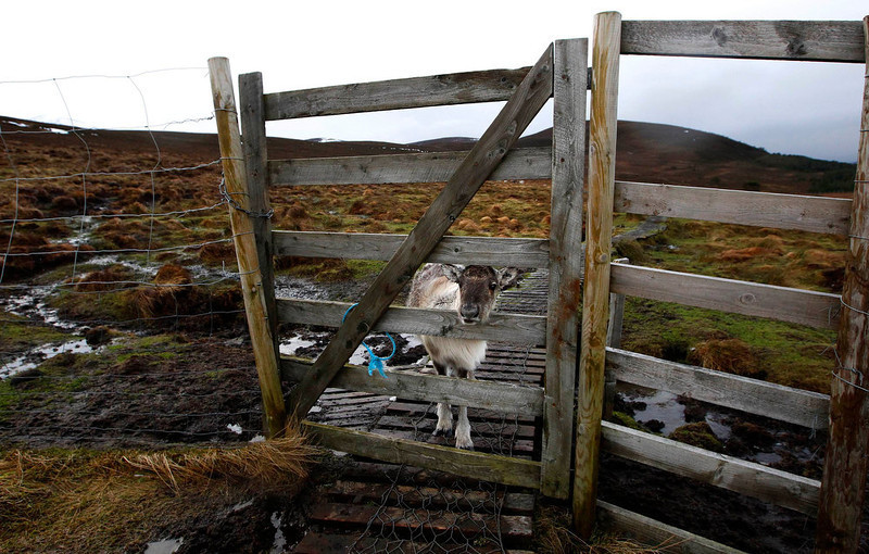 A reindeer calf looks through a fence Reindeer herder Anna Jemmett from the Glenmore Reindeer Centre tends a herd of free ranging reindeer in the Cairngorm Mountains near Aviemore, Scotland. The 150-strong Cairngorm Reindeer Herd is Britain's only herd of reindeer.