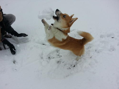 corgimerriness:  Snowball? I like it!