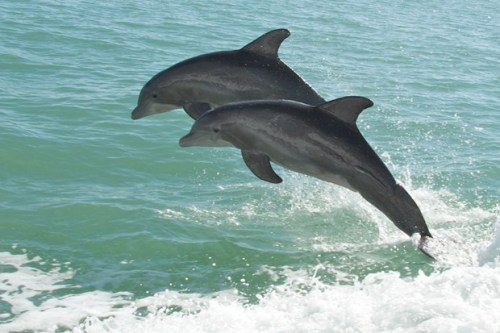 "Dolphins may assign themselves their own names What might dolphins be saying with all those clicks and squeaks? Each other's names, suggests a new study of the so-called signature whistles that dolphins use to identify themselves. Whether the vocalisations should truly be considered names, and whether dolphins call to compatriots in a human-like manner, is contested among scientists, but the results reinforce the possibility. After all, to borrow the argot of animal behaviour studies, people often greet friends by copying their individually distinctive vocal signatures. ""They use these when they want to reunite with a specific individual,"" said biologist Stephanie King of Scotland's University of St Andrews. ""It's a friendly, affiliative sign."" Full article."