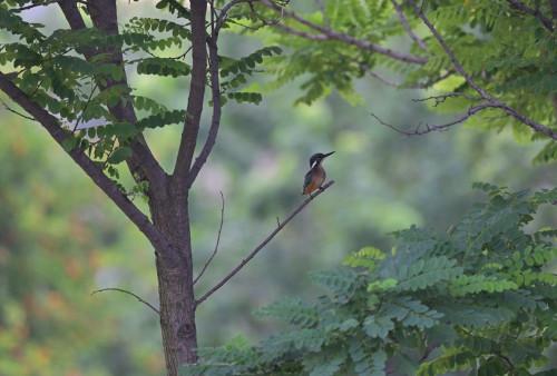 食糧難の蓮沼に留まる我が子を心配してか、♀がちょくちょくやって来ますエビで誘い出し?をしている様にも見えますが、幼鳥はマイペースに捕食(エビ)しているようです今朝もエビを落としてしまって拾ってました #カワセミ#kingfisher