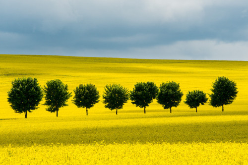 travelingcolors:  Lindens anywhere in Saxony | Germany (by Thomas Uhlig)