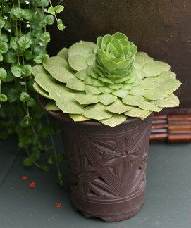 (via Aeonium glandulosum - Buy Online at Annie's Annuals & Perennials)