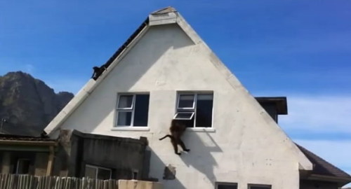Video: Baboons take over a house near Cape Town in South Africa A bunch of baboons decided to take over a house in Betty's Bay near Cape Town in South Africa and began ransacking the place. A neighbor caught it all on video and managed to get them to leave. Read more: http://www.digitaljournal.com/article/350480