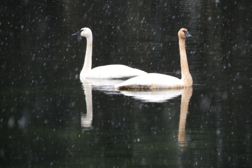 Lydia and I skied to the lake from our house early this week.  Two swans were waiting there for us, making everything seem hushed and serene as the snow fell all around.  Man, those suckers are big, though, when you get up close to them.