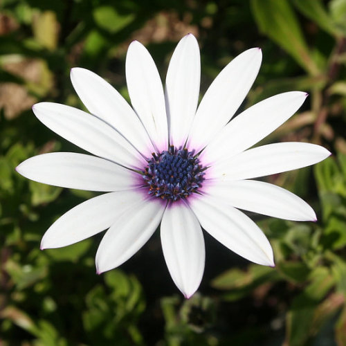 Thirteen White Petals The modest, unassuming beauty of the daisy has a playful, childlike character that brings joy and happiness wherever it arrives. The many coloured options of the daisy provide ample opportunity to match this lovely flower to a specific personality. The daisy is the flower associated with April and the Fifth Wedding Anniversary: consider gifts for birthdays, anniversaries, bridesmaids and weddings Follow the link to see all my African Daisy – Single Stem giftsClick the links to see all of my Redbubble African Daisy Paintings,African Daisy Photography, African Daisy Greeting Cards, African Daisy Stickers, African Daisy Tees, andT-Shirts at ArttowearMy artwork, photography and design can be found in my Zazzle Galleries. Check out customizable gifts and collectables at Female Contemporary Art, Arttowear and Rottweiler Gifts Follow links to 3DRose for customizable Photography and Acrylic Art-——————————————————————————————————————————————————Canon Rebel XT 2.3.13-——————————————————————————————————————————————————