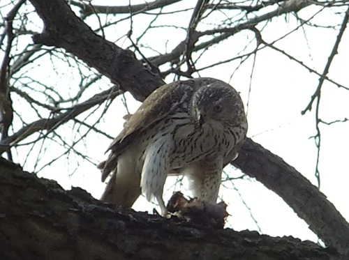Cooper's Hawk at sup Northeast Minneapolis