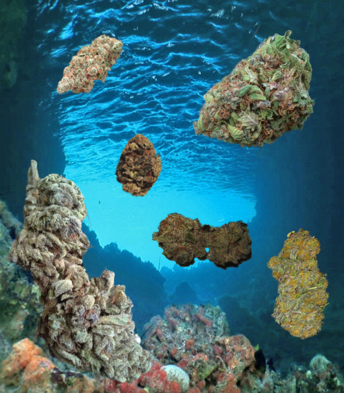 bluntess:  420-master-kush:  Underwater nug collection  wow bless you