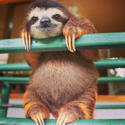 xostarryeyedxo:  #scw (sloth crush wednesday) 😍 #baby #sloth #forever #obsessed 💗😋