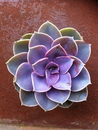 Succulent Plant Purple Echeveria by SucculentOasis via [Enzie Shahmiri Designs]
