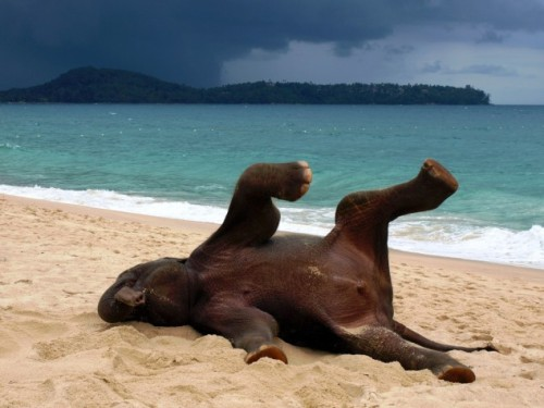 magicalnaturetour:  Young elephant playing on a beach in Phuket, Thailand by John Lindie