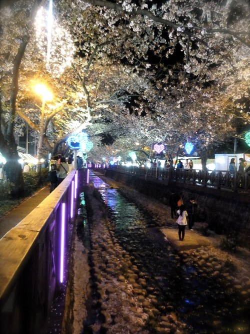 Night view of Romance Bridge in Jinhae, Korea. The Jinhae Cherry Blossom Festival ran from April 1st-10th in 2013. This year, the cherry blossoms bloomed earlier than expected, so when I went with three friends yesterday, it was already past its peak. The pale pink petals were already covering the ground beneath the bridge like snow. It would have been nice to see it in the daytime, but the forecast for the weekend's weather was a typhoon, so we changed our plans and went on Friday after work, arriving in downtown Jinhae at sunset. It worked out nicely, actually. The night sky blended the blossoms that were still hanging on the branches together with the newly sprouted leaves to make the branches seem more full with flowers than they actually were.