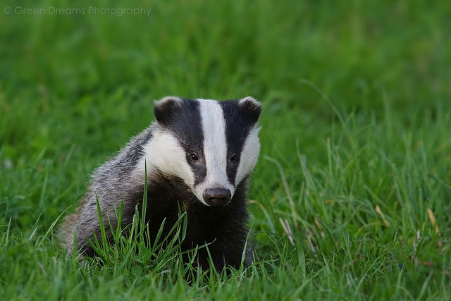 howtoskinatiger:  Badger by GreenDreamsPhotography on Flickr.