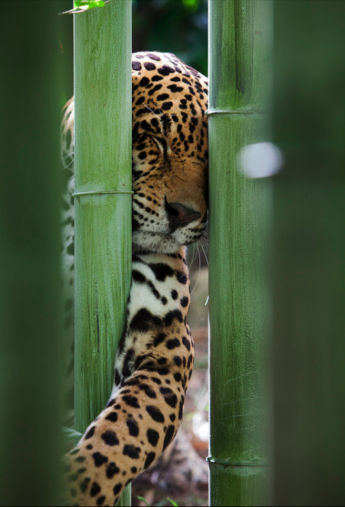 nature-madness:  Jaguar | Thomas Motyka