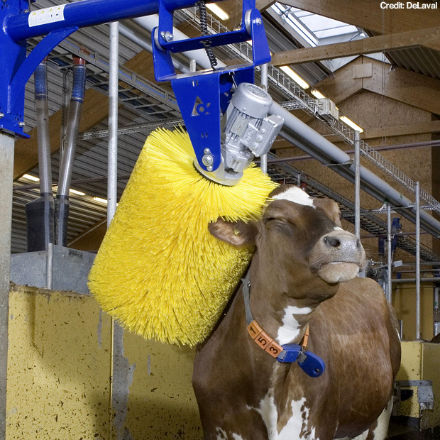 "Via newslite.tv, Swedish company DeLaval has created a self-grooming machine — essentially a car wash for cows, although I suspect the happy-making aspect has more to do with the scratching action than the cleaning — that keeps the cows happy and clean, while also boosting milk production:  Cow wash machine helps boost milk production July 22, 2010 6:30 PM It looks like a car wash, but this 'cow wash' machine is actually the latest must-have gadget for farmers wanting to boost milk production Designed by Swedish firm DeLaval, the swinging cow brush was created to act as a 'self grooming' device for cows to help keep themselves clean, healthier and happier. This is because a happy cow is said to produce as much as 3.5 percent more milk and therefore be much more valuable for the farmer.  The device works by starting to rotate when a cow makes contact with it, and then spinning at a speed which is pleasurable for the cow as it moo-ves under it. Given the success of cow wash machines - more than 30,000 have been sold - it can't be long until the cows also start getting a pre-milking pedicure and makeover. A spokesperson for DeLaval said: ""A cow that grooms herself with the swinging cow brush can produce more milk from the exact same resources and input.  ""That is one of the reasons why it is so popular among dairy farmers.  ""Improved general health leads to less treatment and culling costs so cow health is improved and farmers' profits boosted."""